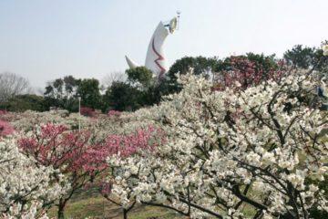万博記念公園 梅まつり (2)
