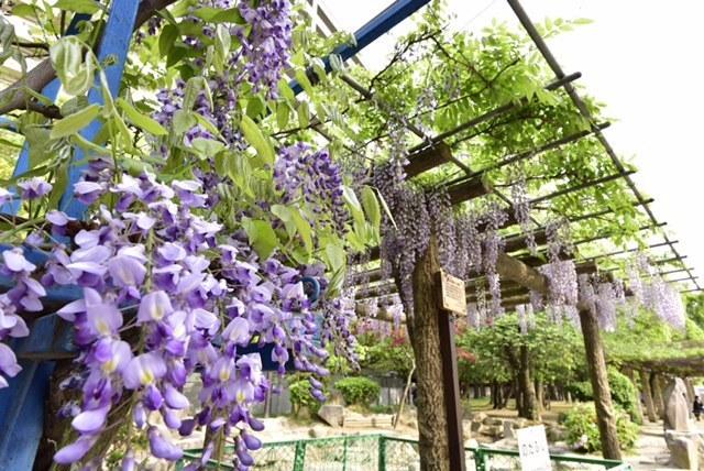 下福島公園の野田藤