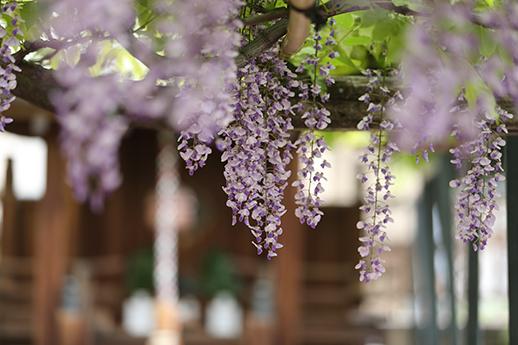 春日神社前の野田藤