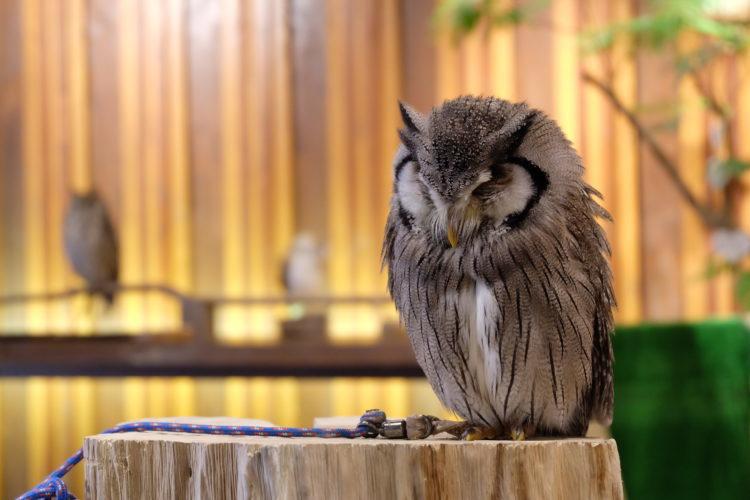 【フクロウカフェ】心斎橋でフクロウと触れ