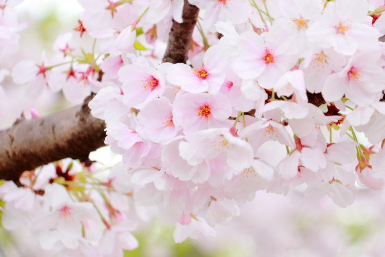【大阪 桜名所・お花見】おすすめのスポッ
