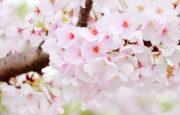 【大阪 桜名所・お花見】おすすめのスポットと見頃