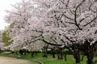 大仙公園 桜の見頃