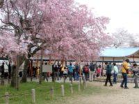 長野公園桜見ごろ & 河内長野さくらフェスタ「奥河内ミーツ・サクラ」