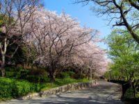 服部緑地 桜の見ごろ