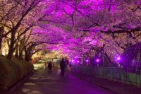 茨木辯天 夜桜ライトアップ