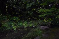 万博記念公園 螢の夕べ