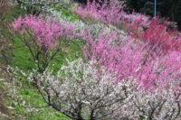 大阪の早春を彩る『梅の名所 5選』で梅林鑑賞