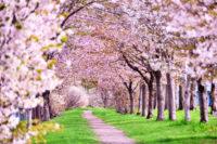 【大阪 南エリア 桜名所】色鮮やかに咲き誇るおすすめの「穴場スポット」をご紹介!