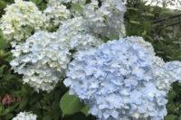 大阪で紫陽花(アジサイ)が綺麗な人気おすすめスポットをご紹介!